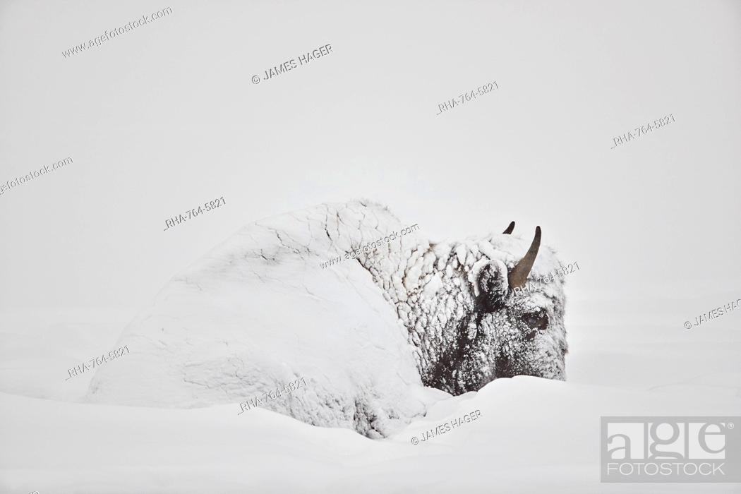 Stock Photo: Bison (Bison bison) covered with snow in the winter, Yellowstone National Park, Wyoming, United States of America, North America.