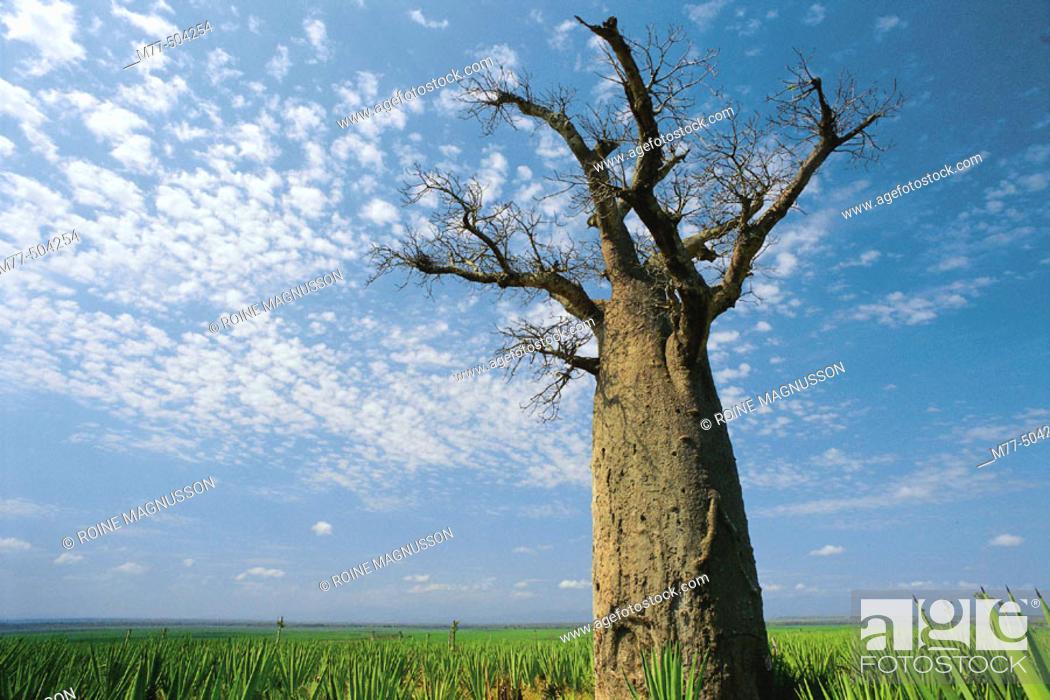 Stock Photo: Baobab tree. Berenty. Madagascar.