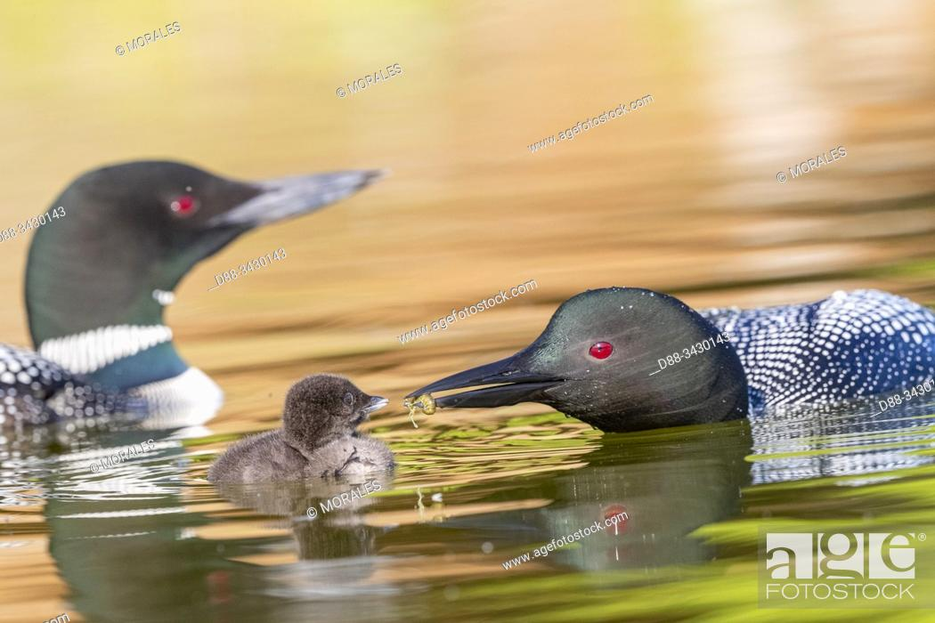 Stock Photo: United States, Michigan, Common Loon (Gavia immer), on a lake, parents with a baby, feeding with a crayfish.