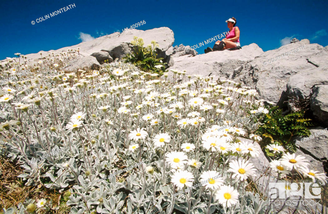 Stock Photo: Tramper and alpine daisies on Mt. Owen. Kahurangi NP. New Zealand.