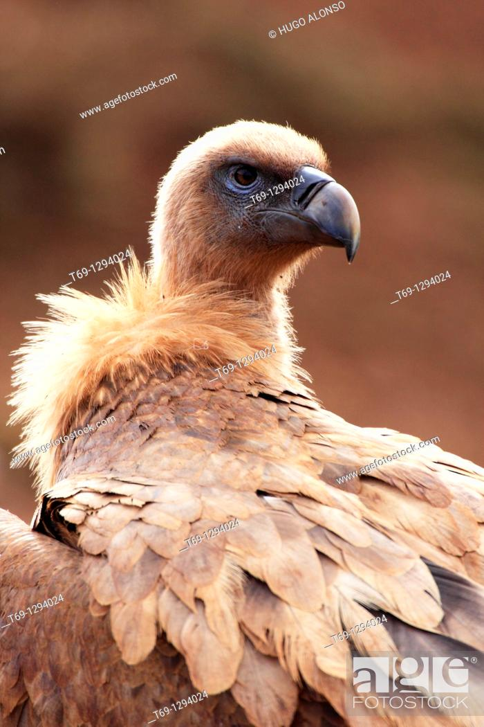 Stock Photo: Griffon Vulture (Gyps fulvus).