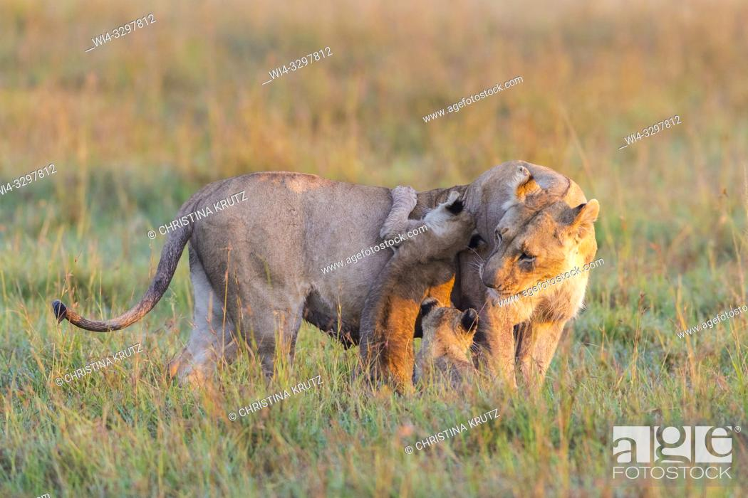 Stock Photo: African Lion (Panthera leo) female with cubs, Maasai Mara National Reserve, Kenya, Africa.