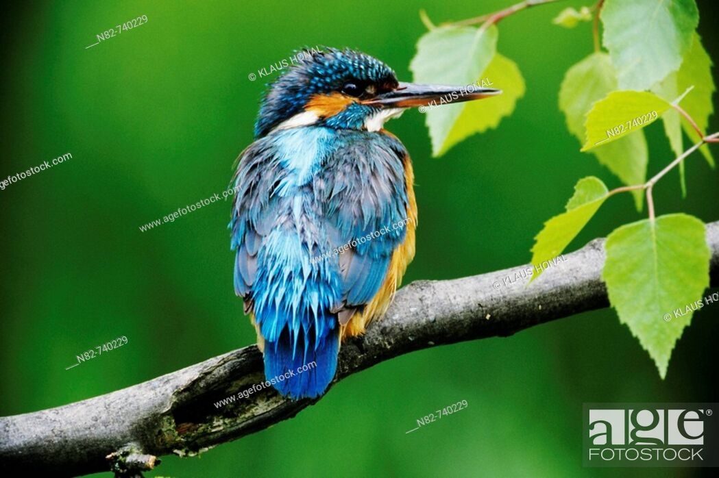 Stock Photo: Kingfisher Alcedo atthis female with wet feathers after the hunt.