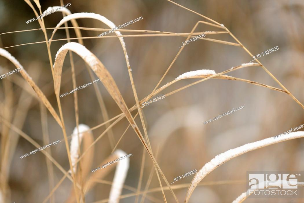 Stock Photo: A dusting of snow on dead grasses.