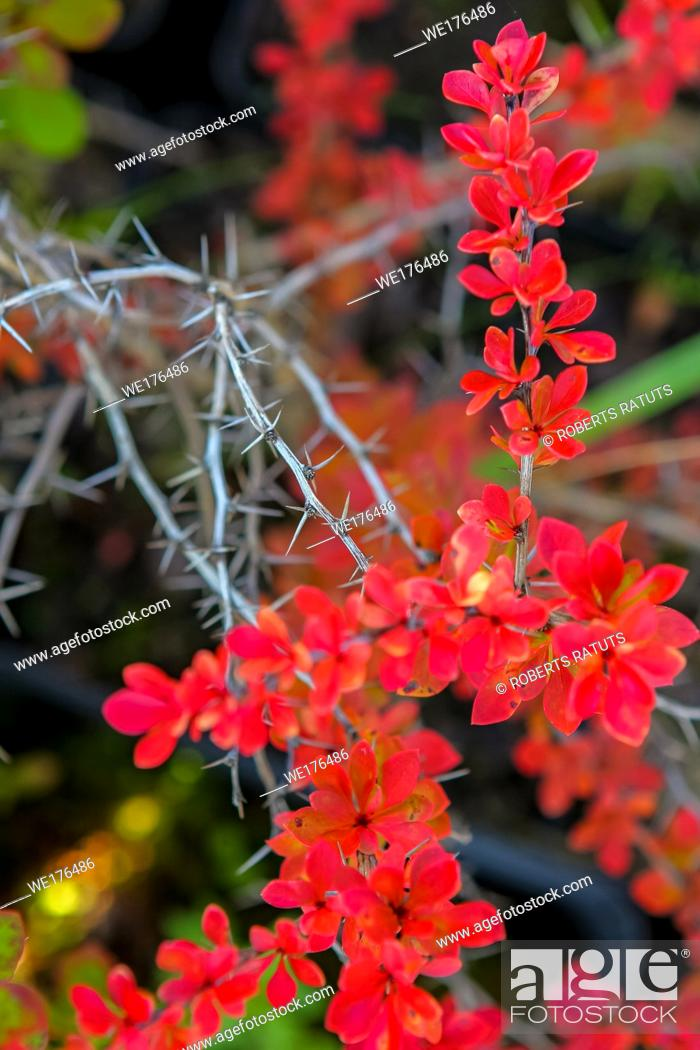 Stock Photo: Branch with red leaves and thorns in autumn.