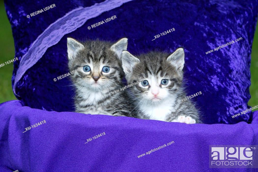 Stock Photo: Domestic Cat, Two Kitten Sitting in Basket, Lower Saxony, Germany.