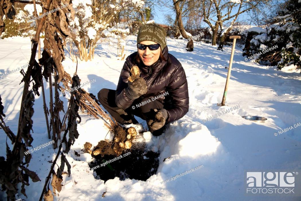 Stock Photo: Man harvesting Jerusalem artichoke tubers in winter.