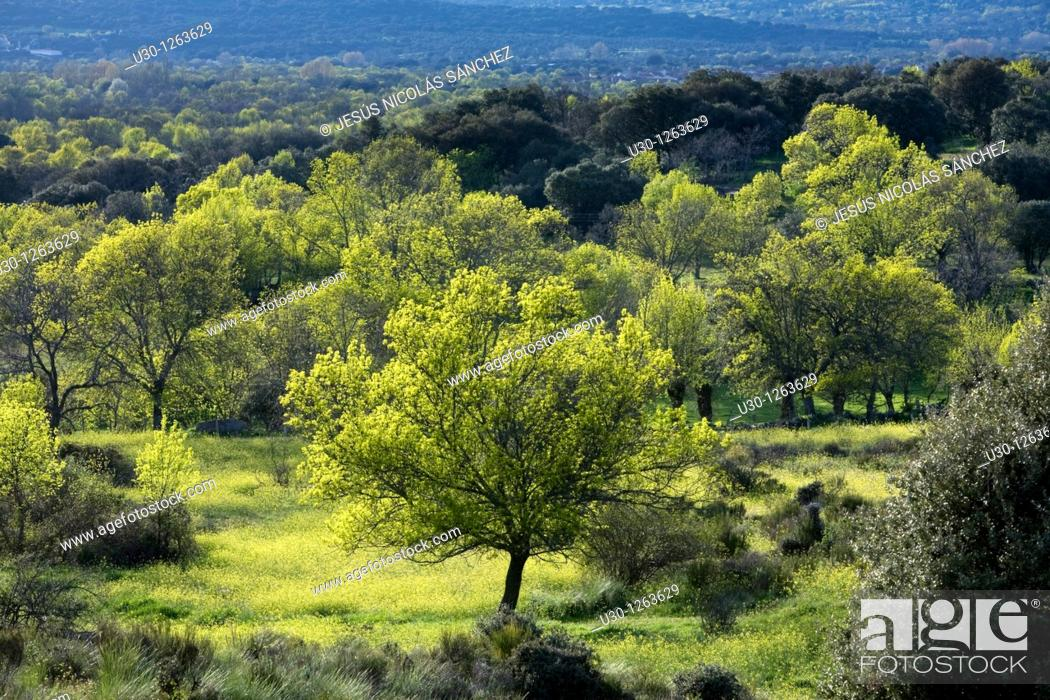 Stock Photo: Fores of ash Fraxinus excelsior and holm oak Quercus ilex next to Sierra de Béjar, in Salamanca province, Biosphere Reserve of Sierra de Béjar and Francia.