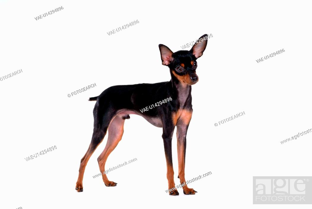 Stock Photo: house pet, domestic, cute, loving, canines, companion, miniature pinscher.