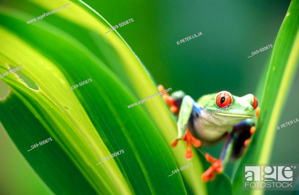 Stock Photo: Red-eyed tree frog (Agalychnis callidryas) looking at me between some leaves. Selva Verde. Costa Rica.
