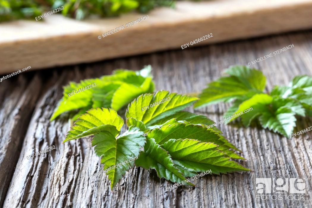 Stock Photo: Young ground elder leaves on a wooden table.