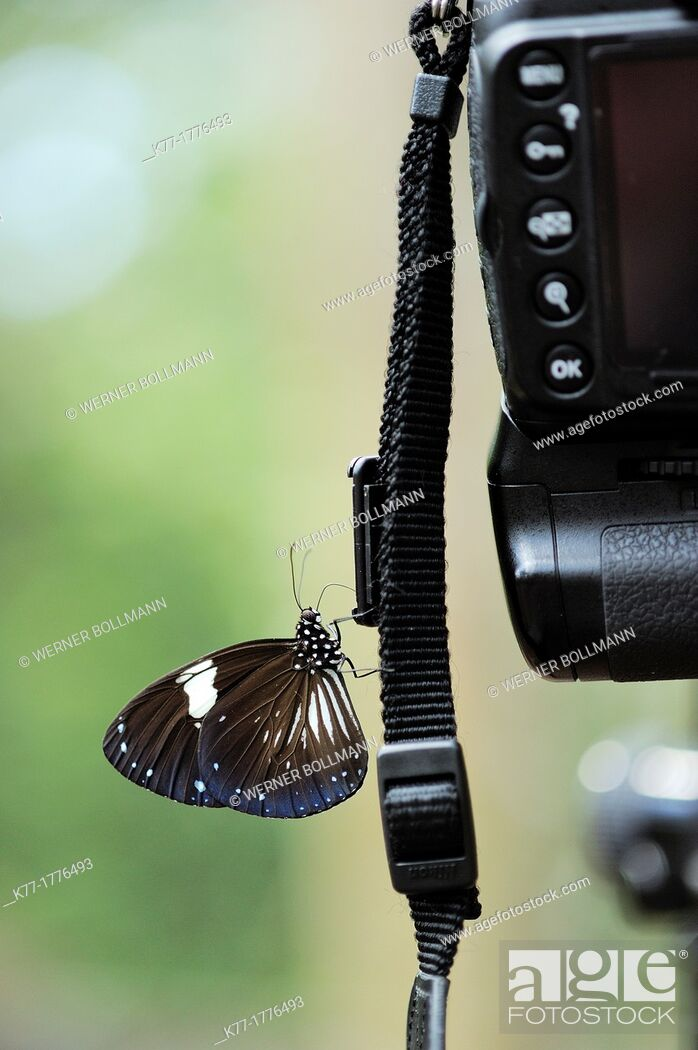 Stock Photo: Tropical Butterfly sipping salt from camera strip, Tanjung Puting National Park, Province Kalimantan, Borneo, Indonesia.