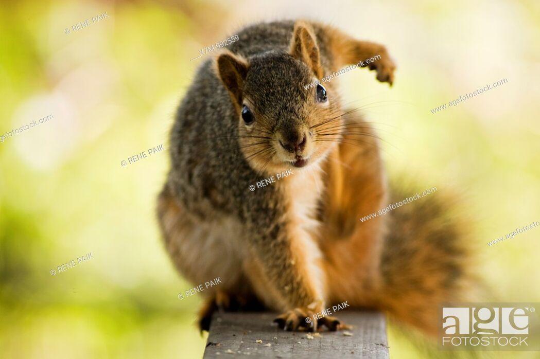Stock Photo: Fox tree squirrel Sciurus niger  Order: Rodentia Family: Sciuridae Subfamily: Sciurinae Genus: Sciurus Subgenus: Sciurus.
