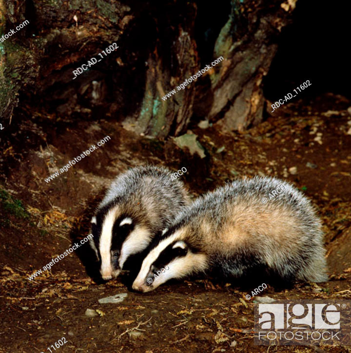 Imagen: Young Badgers Meles meles.