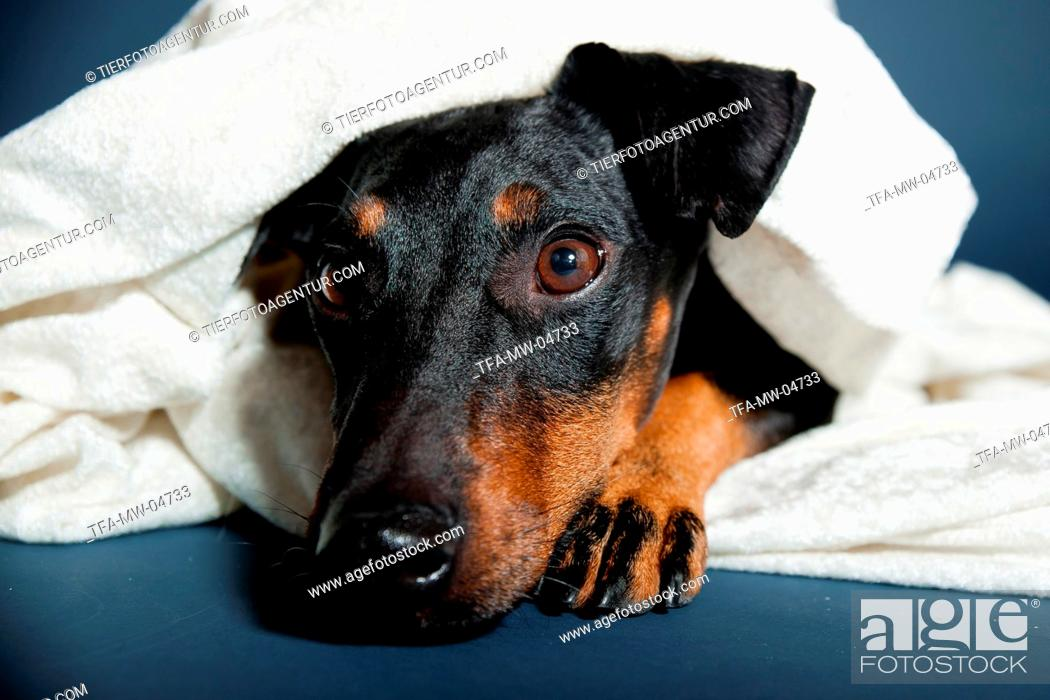 Stock Photo: lying Manchester Terrier.