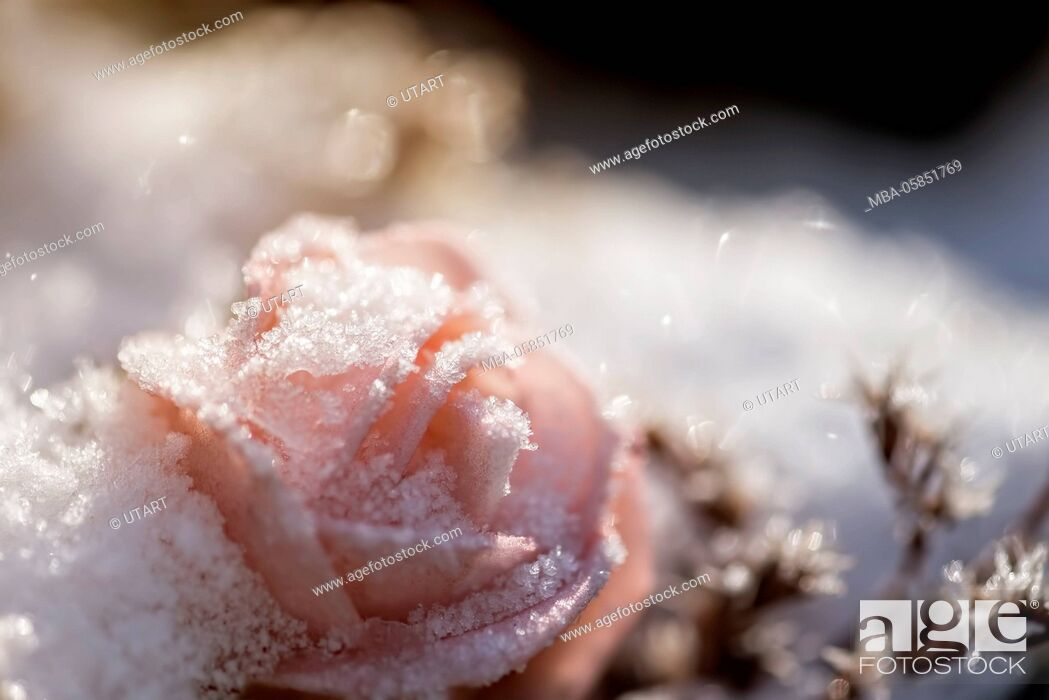 Stock Photo: Wintry scene, with hoarfrost covered pink rose in the snow, back light,.