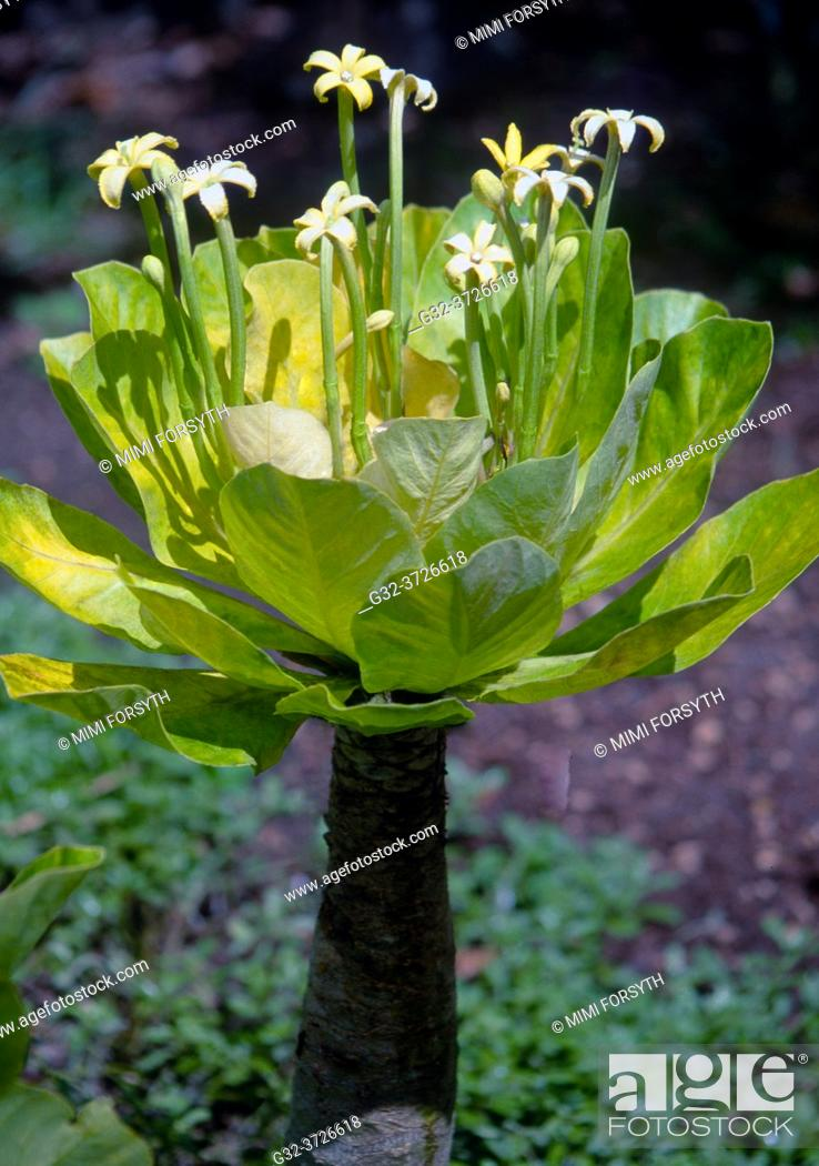 Stock Photo: Brighamia insignis plant, endemic to Hawai'i, endangered.