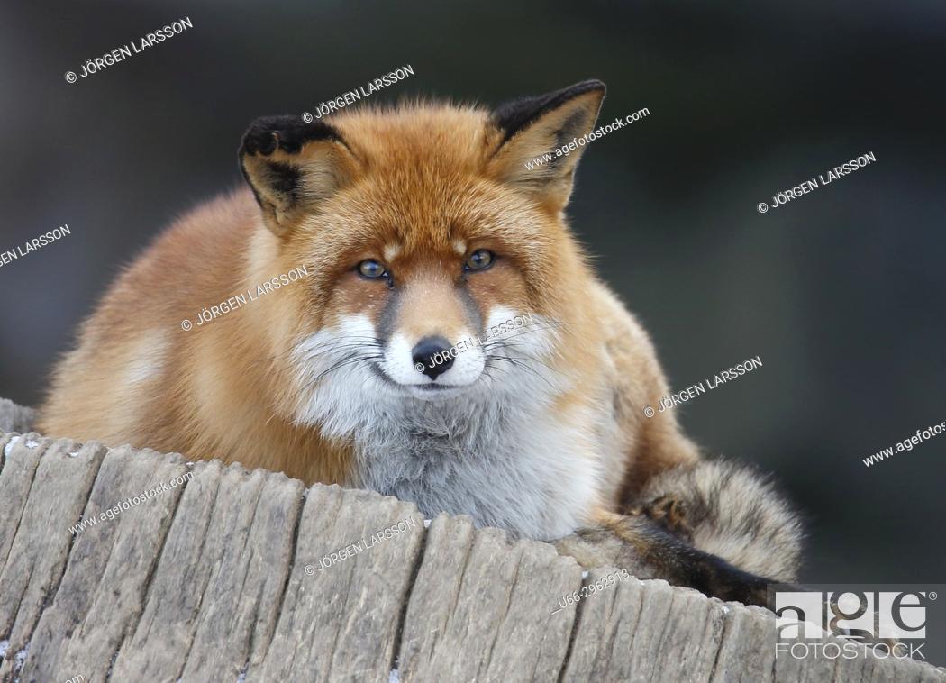 Imagen: Red fox looking at camera, Sweden.