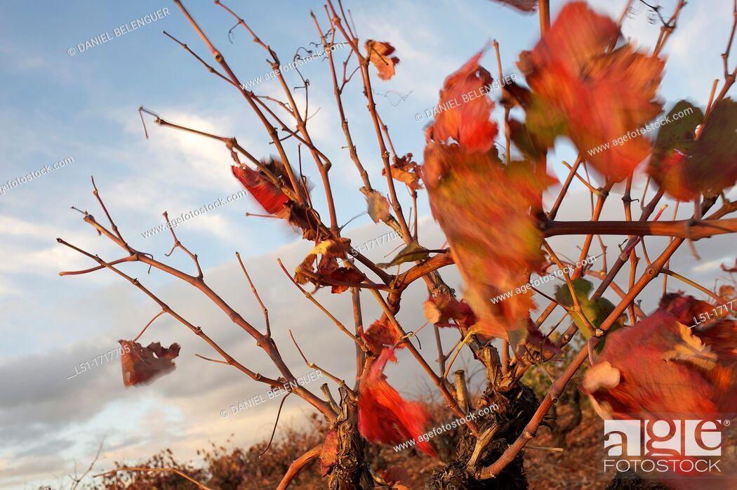 Stock Photo: Vineyard in autumn, Requena, Valencia, Spain.