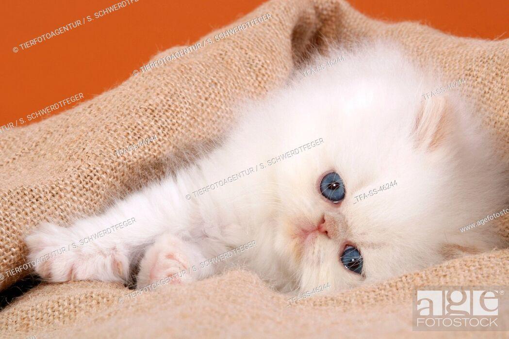Imagen: Perser Colourpoint Kitten.