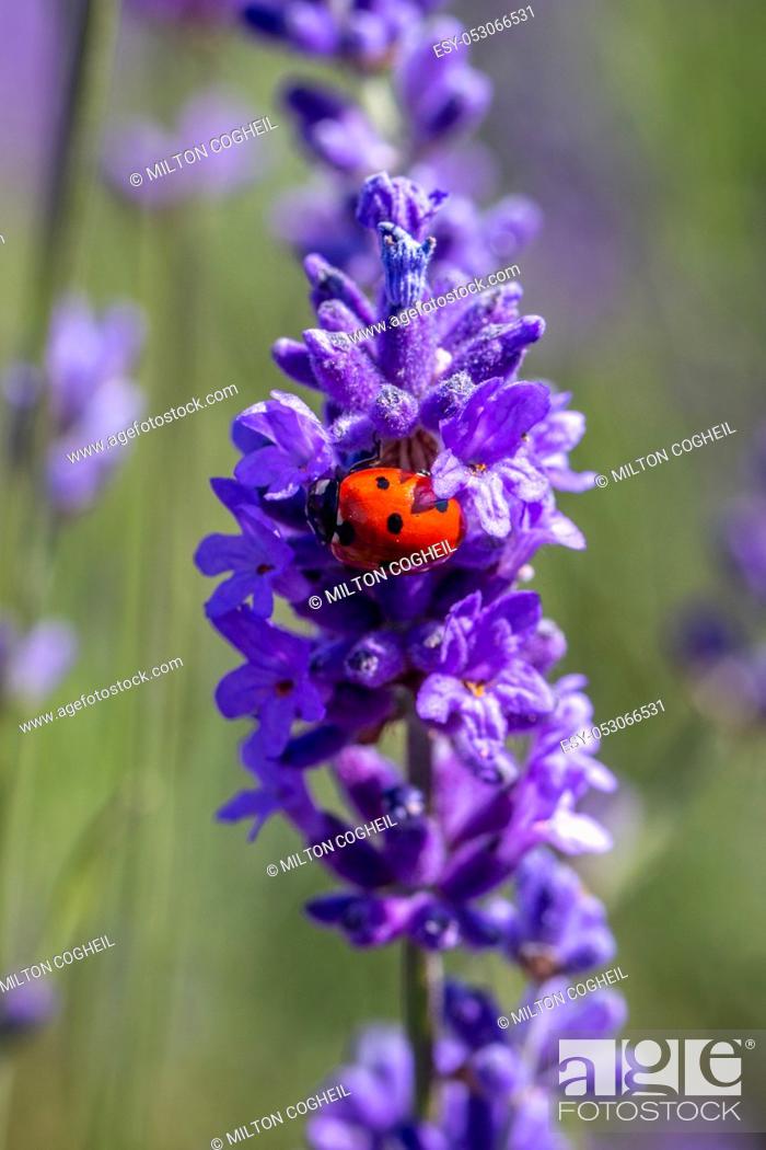 Stock Photo: A seven spot ladybird (coccinella septempunctata) on a lavender plant.