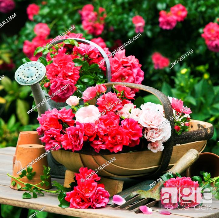 Stock Photo: Vintage metal watering can and wooden trug basket fillede with Roses.