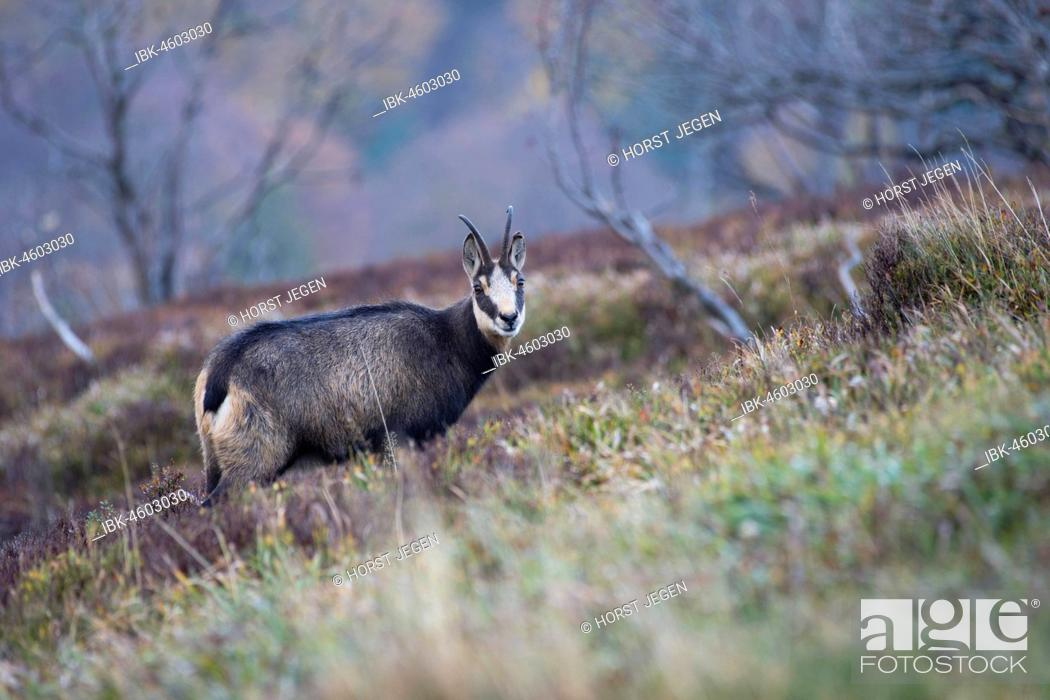 Stock Photo: Chamois (Rupicapra rupicapra), Hohneck, La Bresse, Vosges, France.