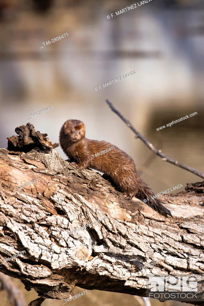 Stock Photo: American mink (American mink), photographed in the Guadarrama Regional Park, Spain.