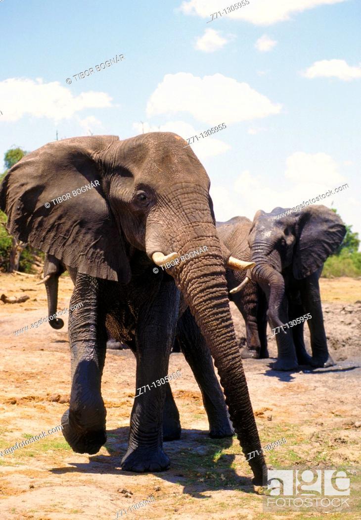 Stock Photo: Botswana, Chobe National Park, african elephant, loxodonta africana,.