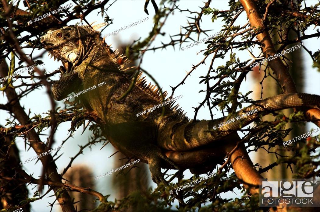 Stock Photo: Curacao, Iguana in a thorny tree.