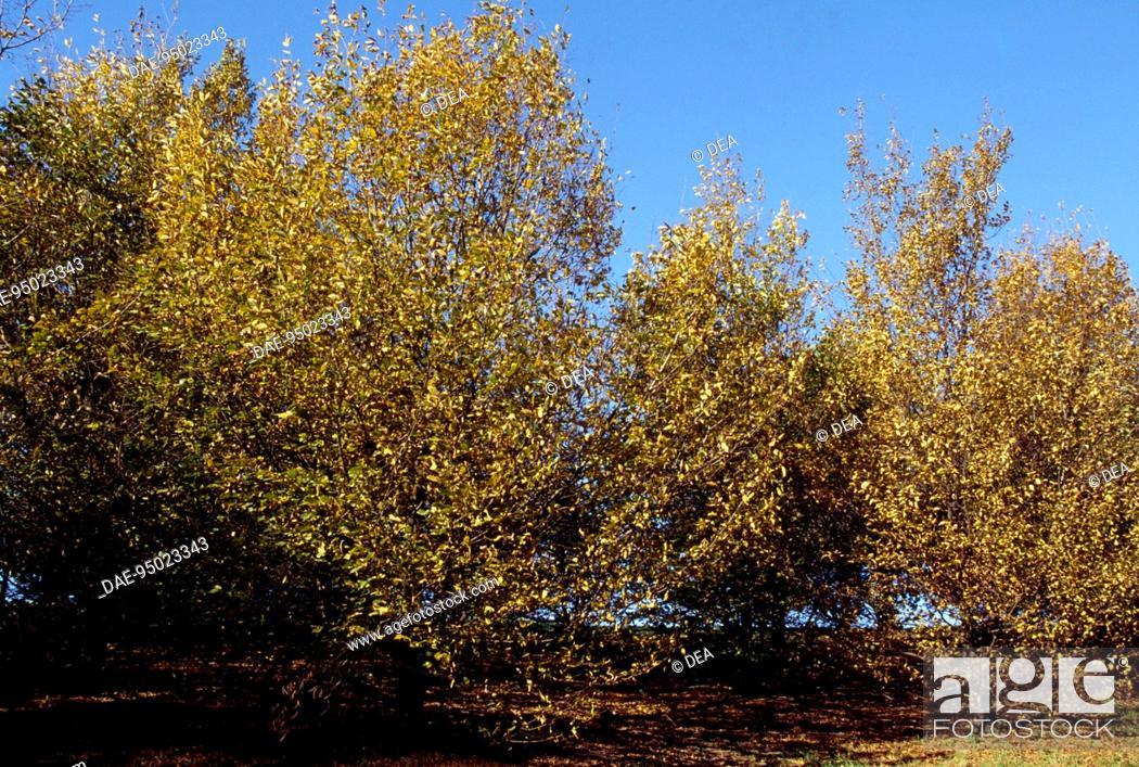 Stock Photo: Hornbeam specimens (Carpinus betulus), Betulaceae.