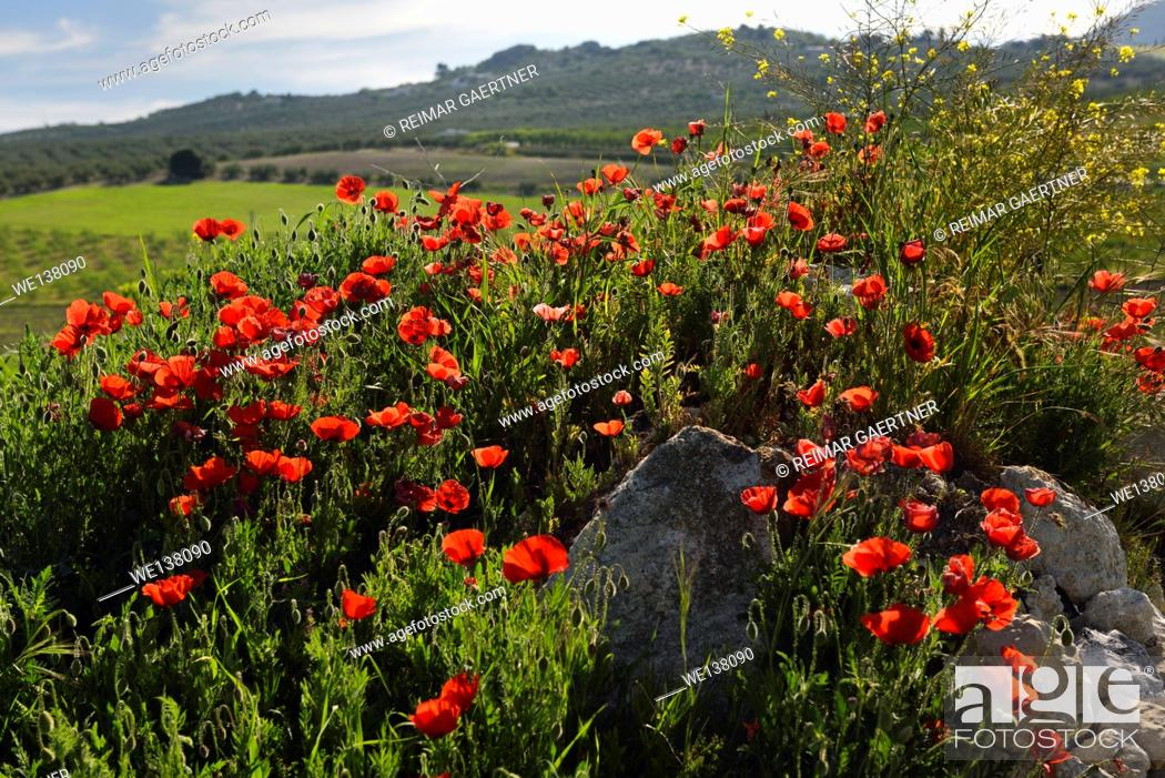 Stock Photo: Red Poppies and Yellow Rocket weeds at rock outcrop in farm field above Puerto Lope village Andalusia Spain.