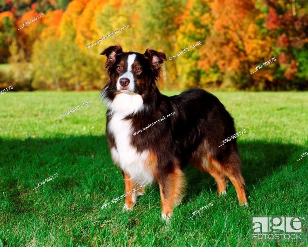 Stock Photo: Australian Shepherd.