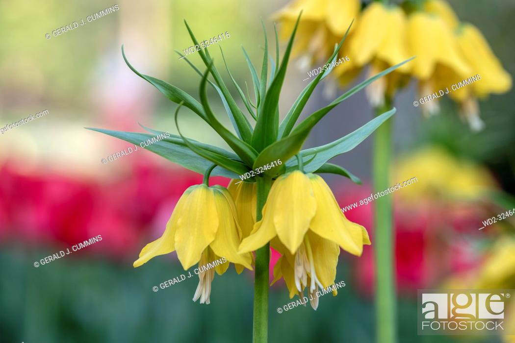 Stock Photo: Fritillaria imperialis, commonly known as crown imperial, is a bulb native to mountainous regions in Turkey, western Iran and eastwards to Kashmir.