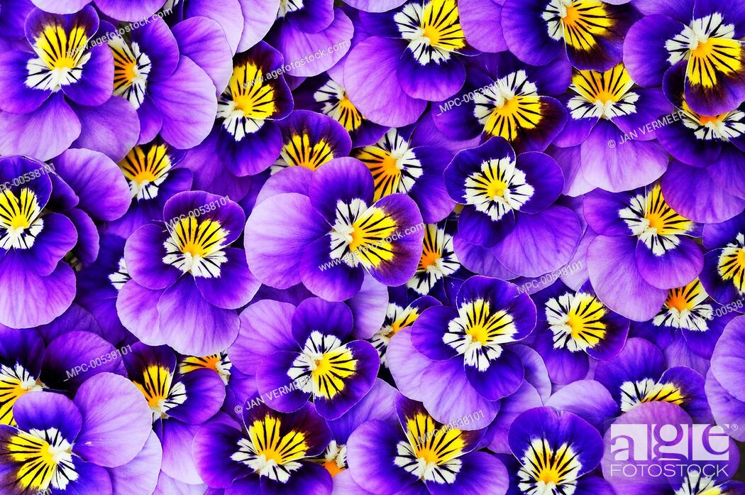 Stock Photo: Violet (Viola sp) flowers.
