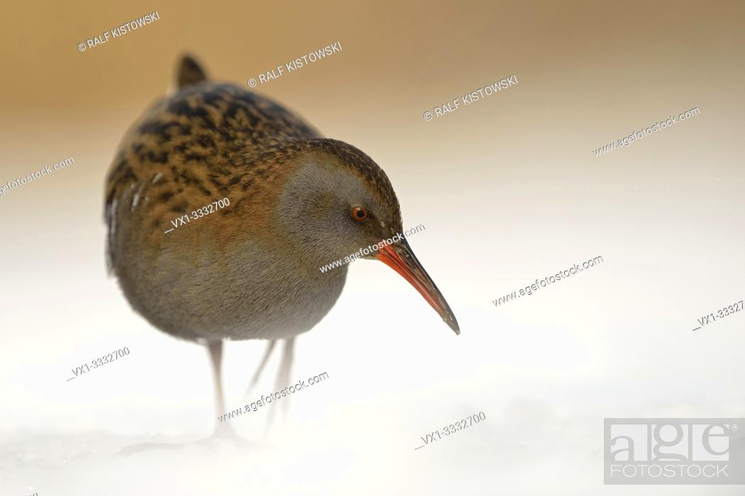 Stock Photo: Water Rail / Wasserralle (Rallus aquaticus ) in winter, permanent resident, searching for food, threatened, endangered, wildlife, Europe.