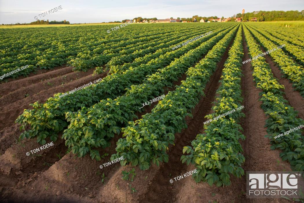 Stock Photo: potato production in the netherlands.
