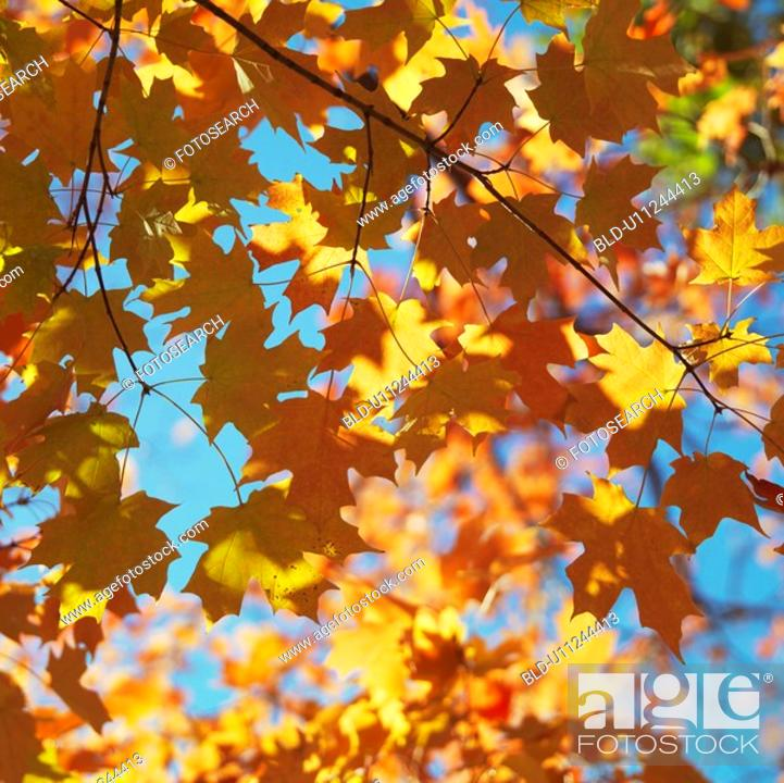 Stock Photo: Maple tree in fall in Washington, D.C., USA.