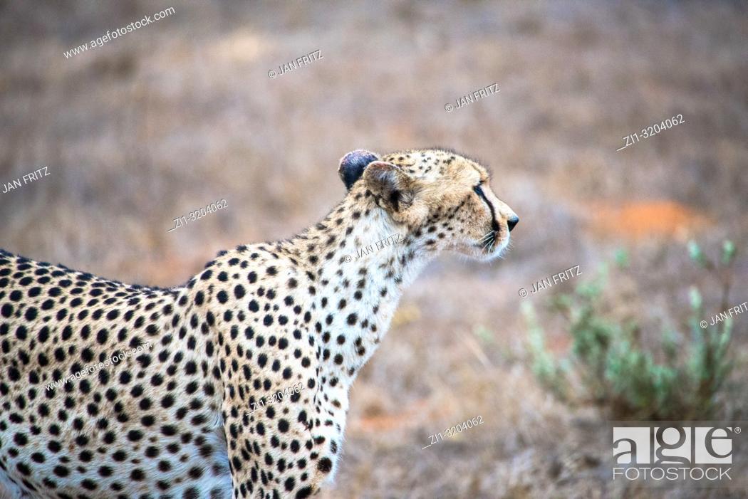 Stock Photo: cheetah in Tsavo East Wildpark, Kenya.