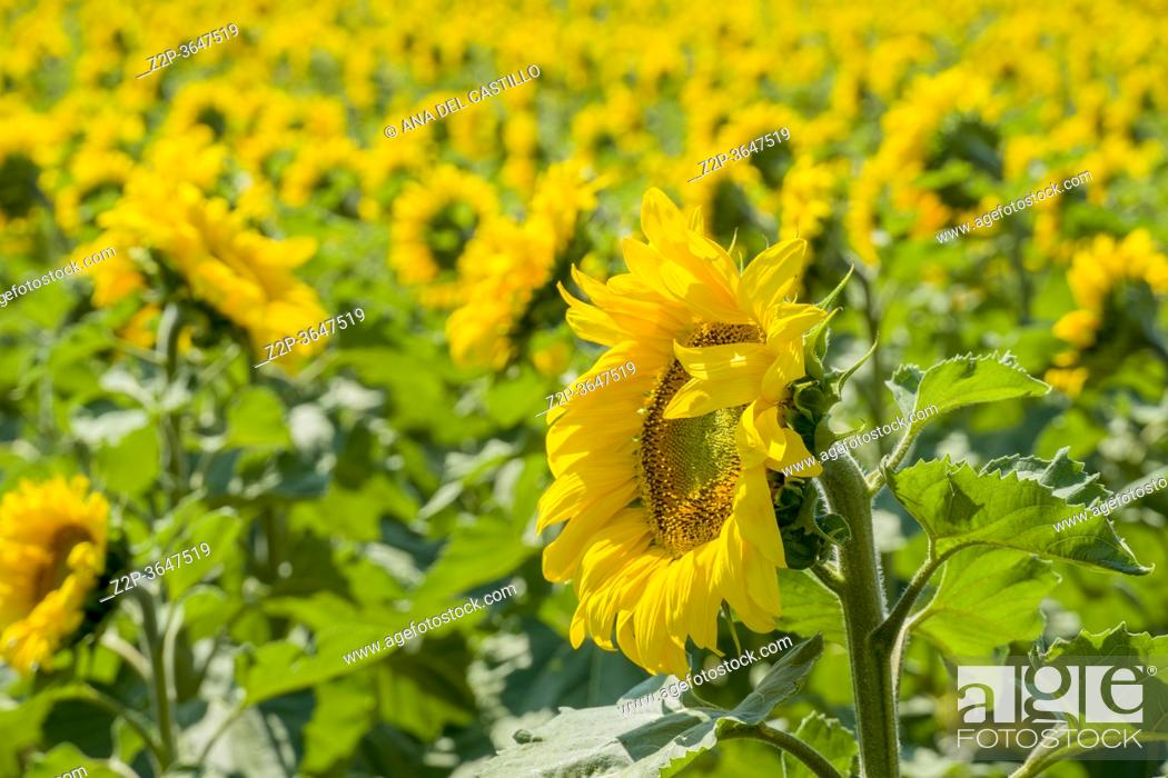 Stock Photo: Fields of La Rioja with sunflowers on a sunny day in Spain.