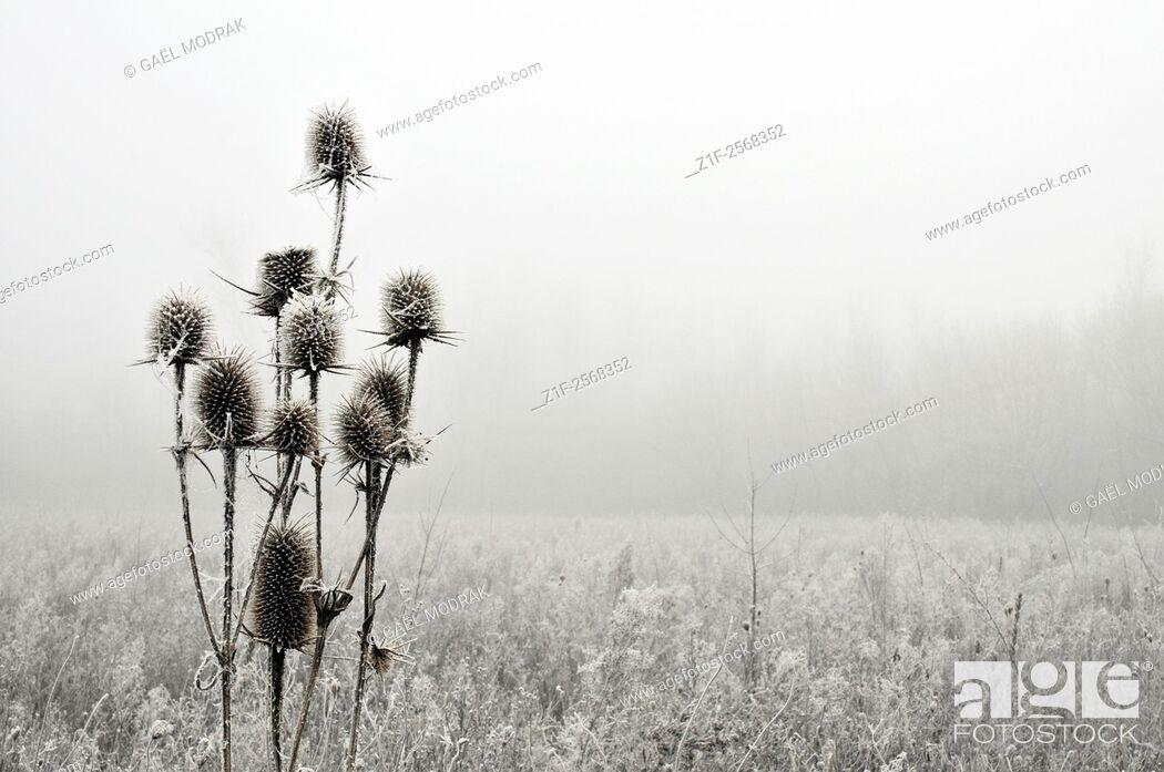 Stock Photo: Frozen wild teasel in winter, France. Dipsacus fullonum.