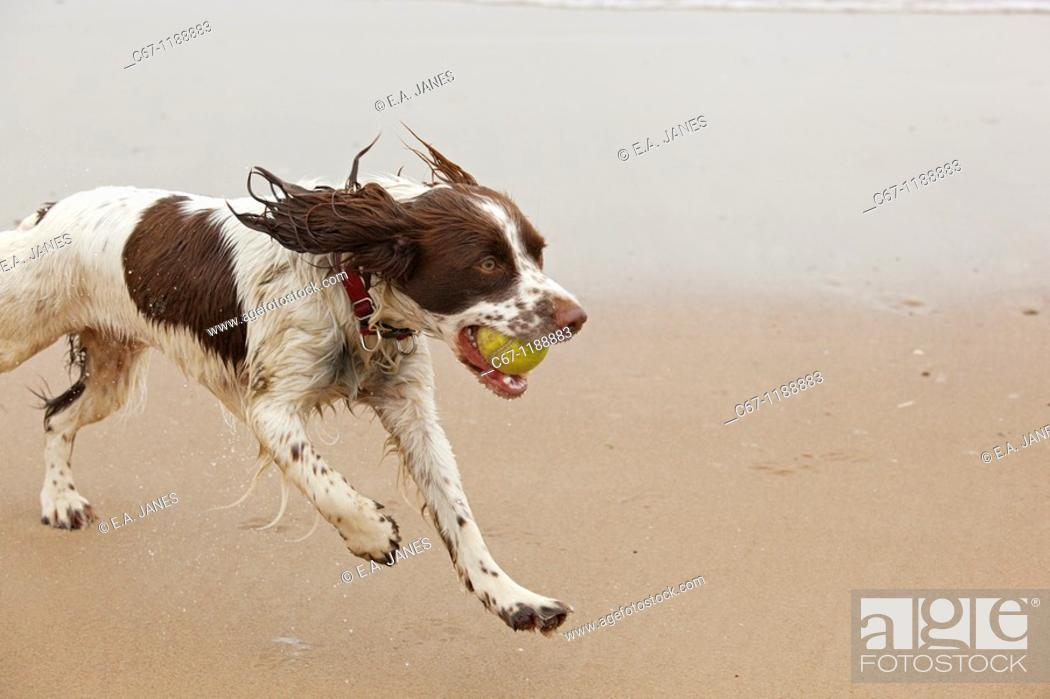 Stock Photo: English Springer Spaniel.
