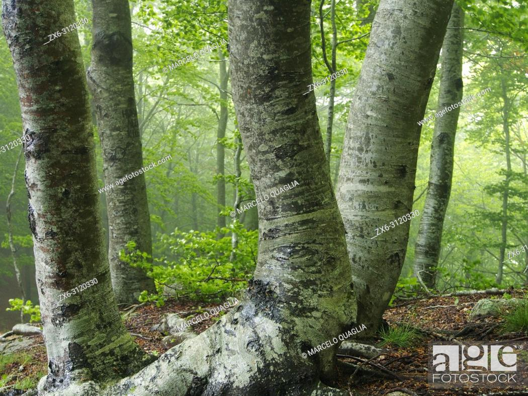 Stock Photo: Misty beech forest (Fagus sylvatica). Springtime at Montseny Natural Park. Barcelona province, Catalonia, Spain.