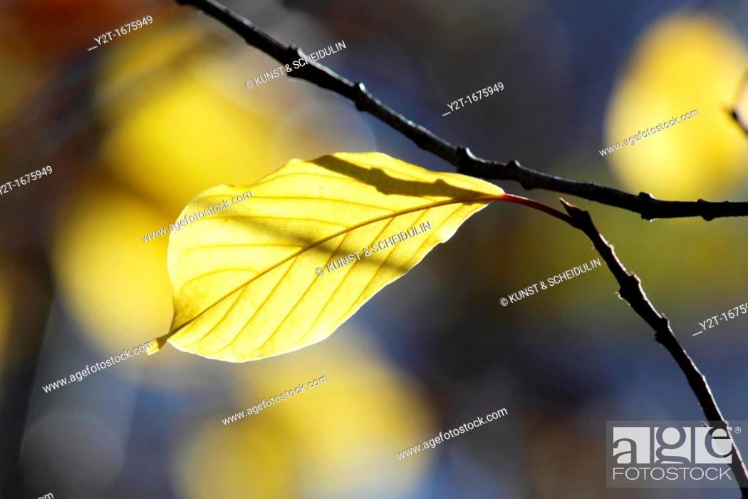 Stock Photo: The bright autumn sun lights up a yellow leaf  Vaesternorrland, Sweden.