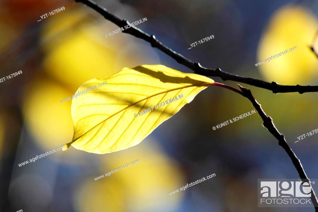 Stock Photo: The bright autumn sun lights up a yellow leaf  Vaesternorrland, Sweden.