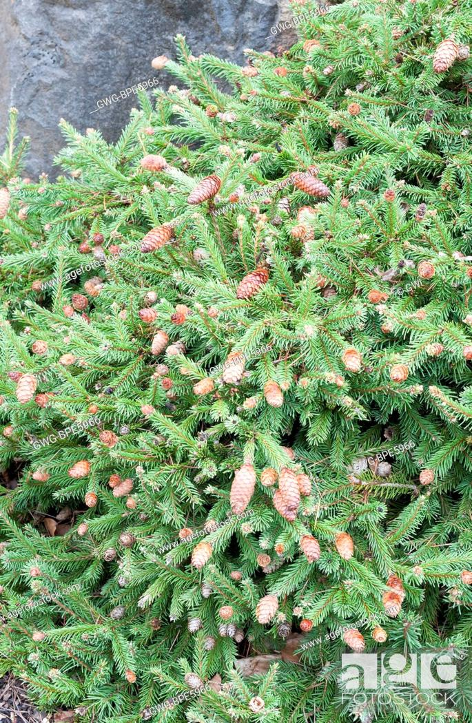Picea Abies Pusch Stock Photo Picture And Rights Managed Image