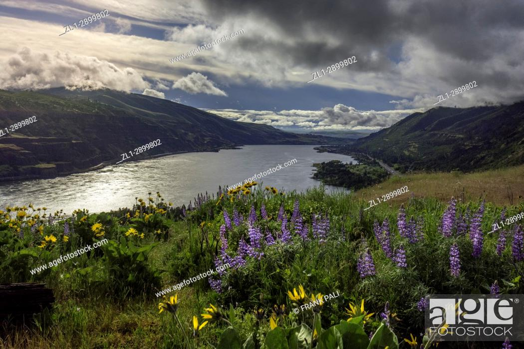 Stock Photo: Over looking Columbia River Gorge, from Rowena Crest Oregon, USA; Balsamroot and Lupine wildflowers.