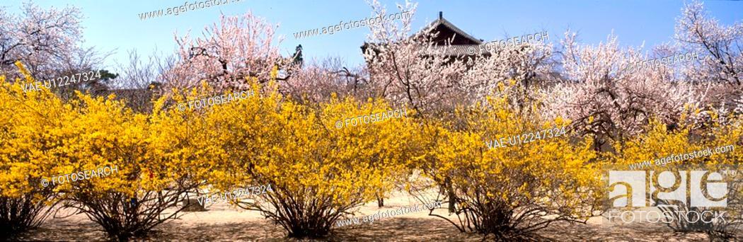 Stock Photo: cherry blossom, landscape, spring, season, scenery, korean architecture, nature.