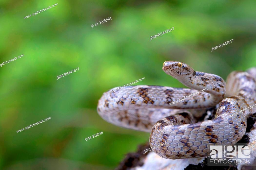 cat snake, European cat snake (Telescopus fallax), in defensive