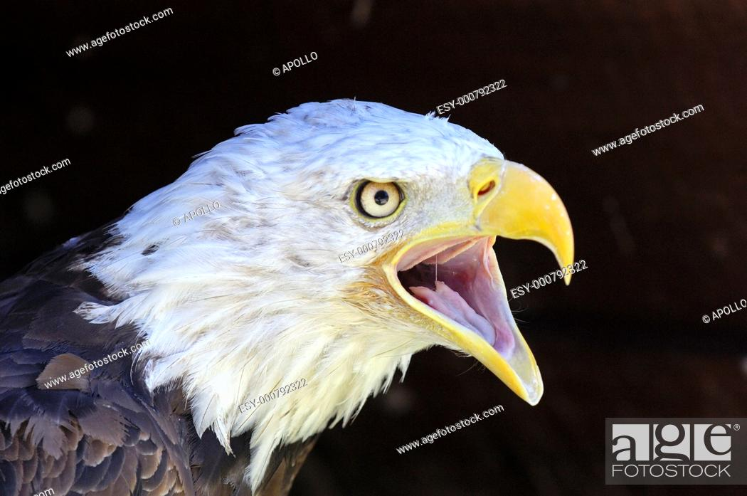 Stock Photo: Screaming Bald Eagle Haliaeetus leucocephalus.
